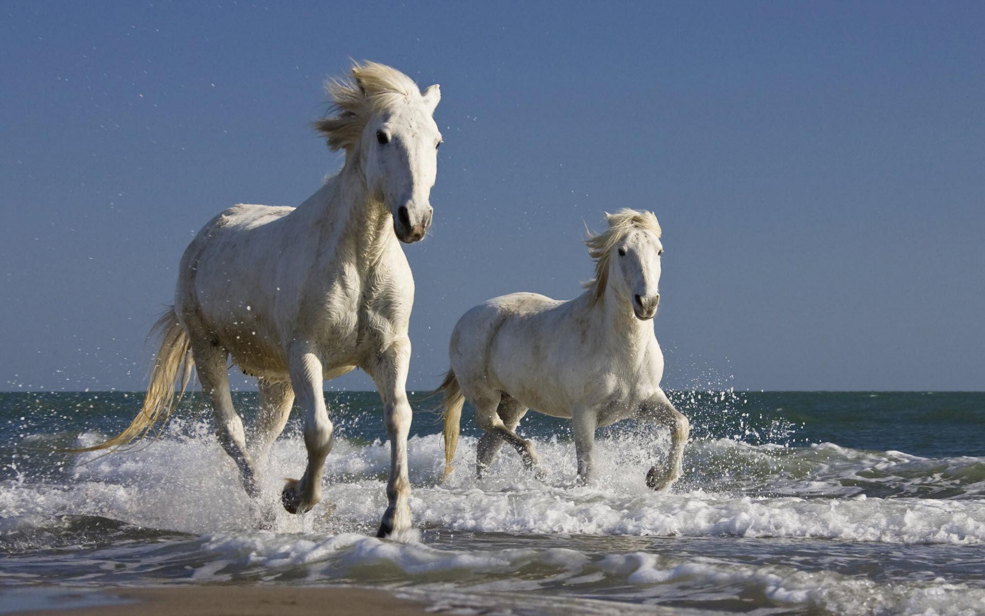 chevaux-camargue