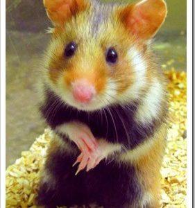 grand_hamster-514x720_thumb